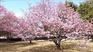 北里大学メディカルセンター周辺の桜