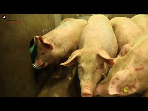 Slaughtering pigs in a humane way