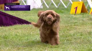 Spaniels (Sussex) | Breed Judging 2021