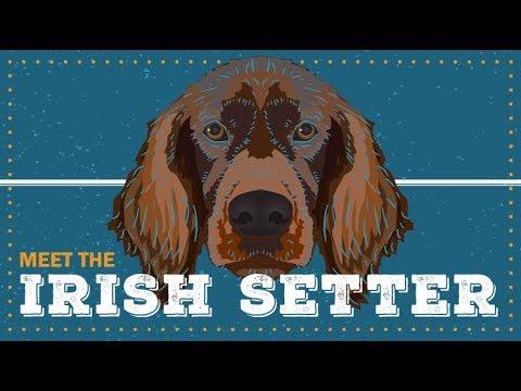 Irish Setter   Breed Profile