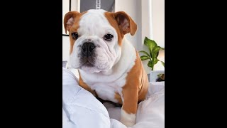ENGLISH BULLIES THAT WILL GIVE YOU A PRICELESS SMILE