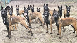 BEST OF EXTREME MALINOIS DOGS