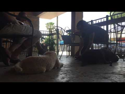 """6mo Standard Poodle """"BoBo"""" 