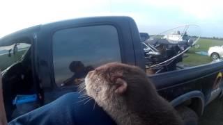 นาก เชื่องมาก น่ารักด้วย Otter