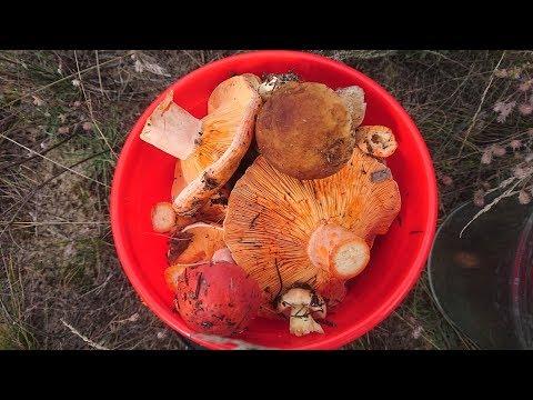 Грибы в начале августа в Бабках в Воронежской области . Море грибов Маслят, Рыжиков, Белых грибов!