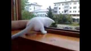 Котенок боится выпасть из окна / Kitten afraid to fall out of the window