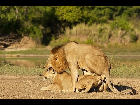 Animals In The Wild: Animal Behavior - Lions mating (Lion Feline)