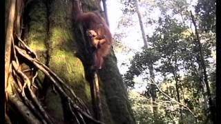 Sumatra - Dschungelwanerung - Dschungel trekking in Sumatra (German)