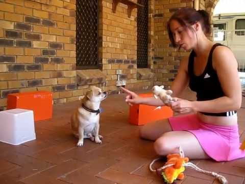 SMART DOG TRICK TRAINING – How to train a dog to search