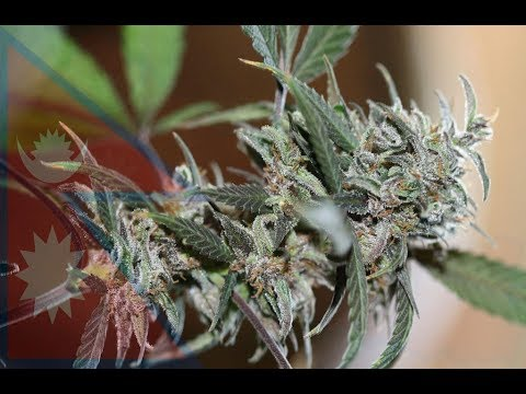 Amazing Cannabis(Ganja)Facts Of Nepal That Will Blow Your Mi