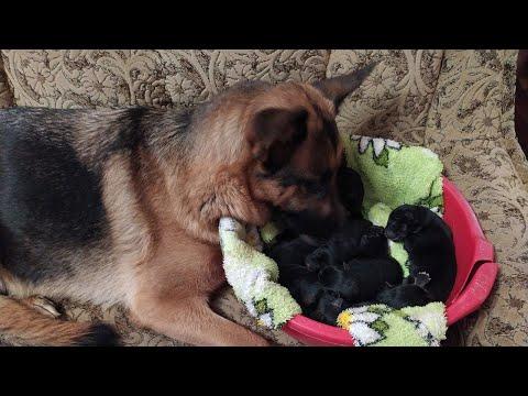 Как немецкая овчарка рожает щенков! German Shepherd Gave Birth To Puppies!