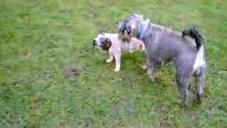 Wilf The Miniature Schnauzer And Winnie The Pug Best Friends