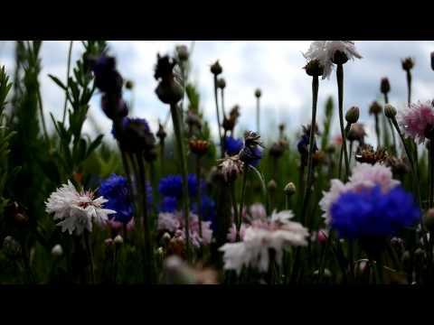 Blue and White Flowers in Field (HD)
