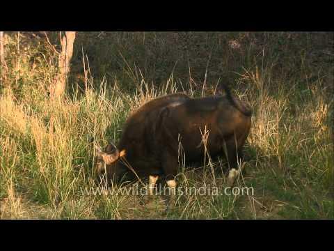Indian Bison or Gaur: largest species of wild cattle