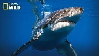 Documentary National Geographic Wild Most Deadliest Shark Coast Australia Nat Geo Wild