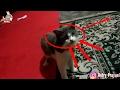 KASIHAN !!! Induk kucing sedih saat terpisah dari anaknya.....