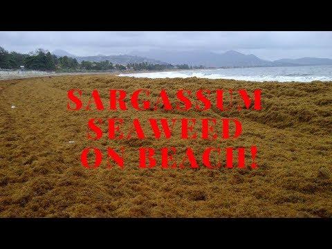 Sargassum seaweed - Crane beach, Barbados.
