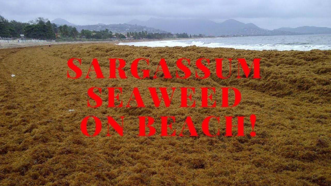 Sargassum seaweed - Crane beach, Barbados
