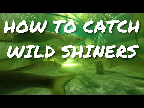 How To Catch Wild Shiners