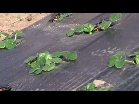 How To Kill Weeds With Plastic Sheeting Before Planting A Garden : Vegetable  Gardening