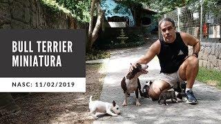 Bull Terrier Miniatura (Mini Bull) nasc. 11/02/2019  'Buakaw L`cossta ' x 'Kyra Br Aguiar'