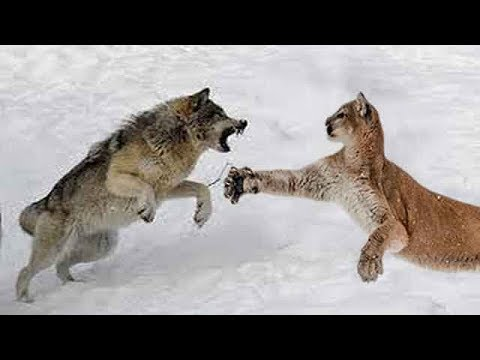 wolf-vs-cougar---who-would-win-a-fight?