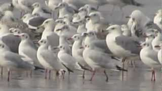 Seagull Birds in Anjarle Beach Dapoli Ratnagiri.MOV