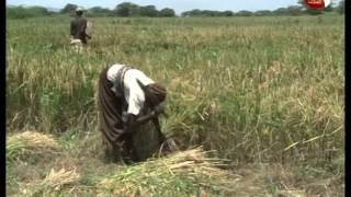 JICA gives Gov't Ksh. 5.34 B grant for rice farming