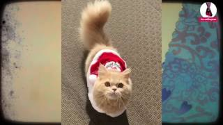 Японская кошка с беличьим хвостом