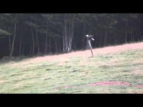 Livestock guardian dog chasing an eagle away - Old Man Farm