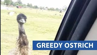 Ostrich Tries To Steal Feed Bucket