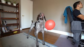 How my German Shorthaired Pointer keeps busy while I am at work