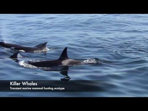 Killer Whales Hunting!