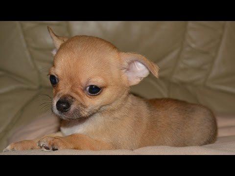 TOP 10 CUTEST CHIHUAHUA DOGS OF ALL TIME COMPILATION 2016