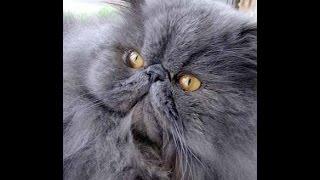 персидская кошка описание породы содержание и уход
