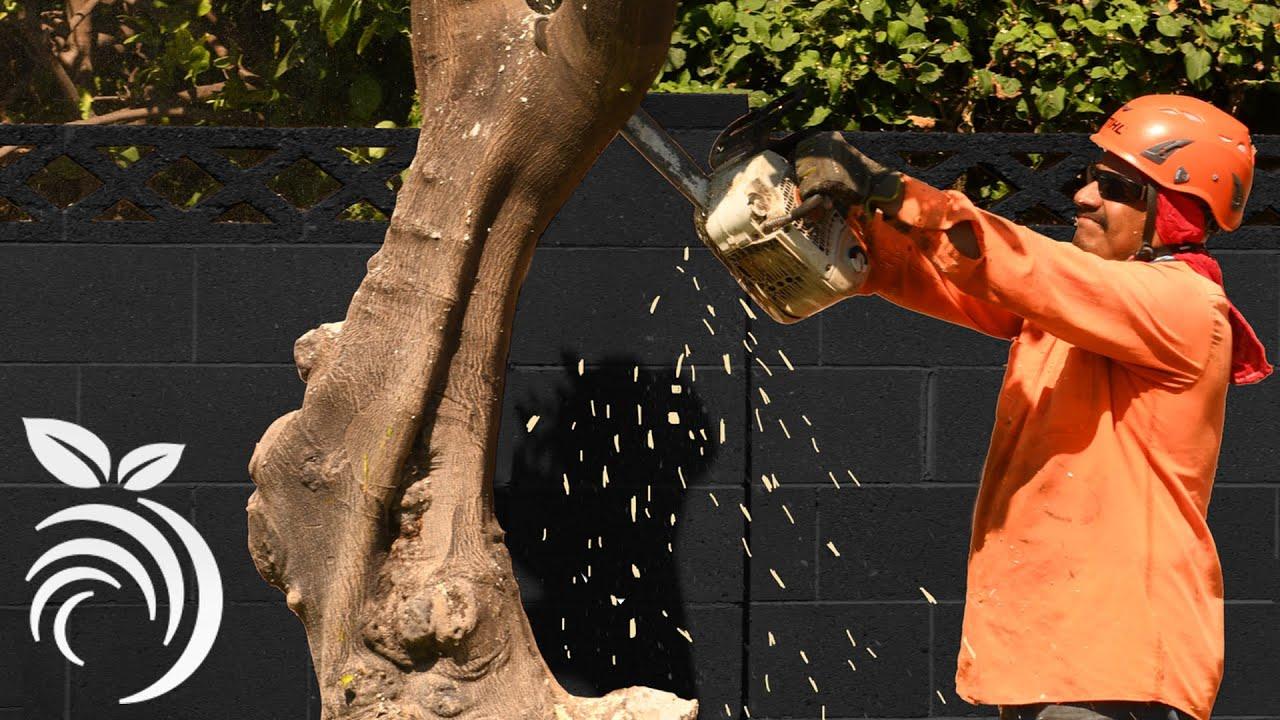 Cứu cây cam quýt bằng cách loại bỏ cây cam quýt không được chăm sóc