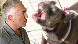 Cesar Millan Faces a Pitbull Terrorizing a Neighborhood | Cesar 911
