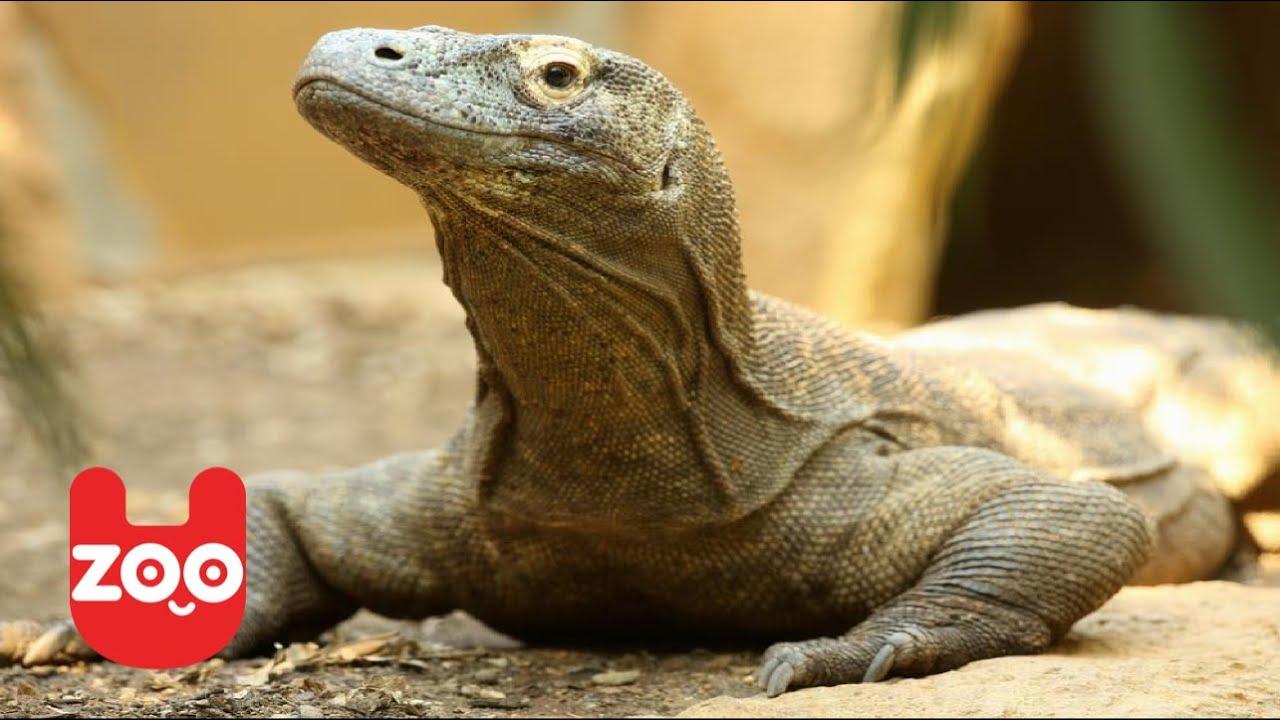 Komodo Dragon Baby | Komodo dragon, Animals |Cute Baby Komodo Dragons