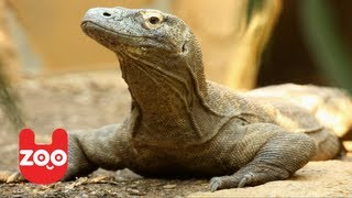 Rare Komodo Dragon Babies
