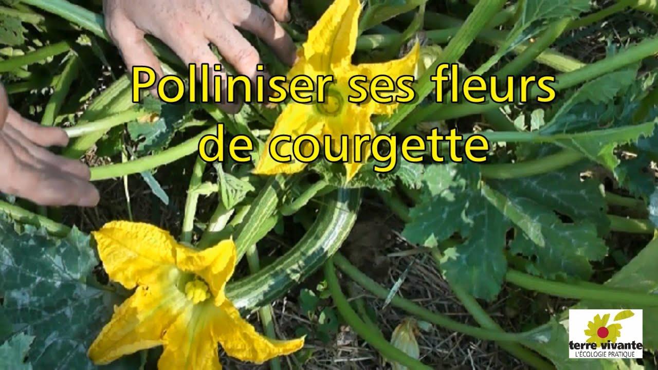 polliniser ses fleurs de courgette terre vivante youtube. Black Bedroom Furniture Sets. Home Design Ideas