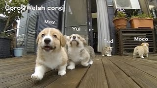 Name Of 20130713 Part 4 Cute Corgi Puppies, Ears Flap Slow Motion / コーギー 子犬 スローモーション