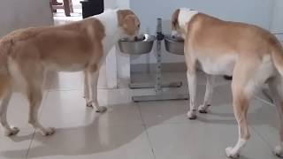 HOW TO FEED MY DOG || DOG FOOD || MUSCULAR DOGS || TUFFY AND LILY EATING ROYAL CANIN MIXED WITH EGGS