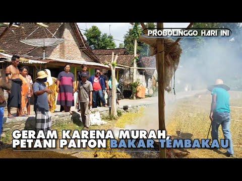 geram-karena-murah,-petani-paiton-bakar-tembakau
