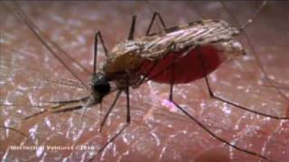Mosquito  High speed Cam..flv