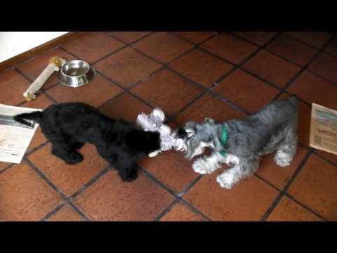 Mini Schnauzer vs Giant Schnauzer puppy ( Lola vs Bleu )