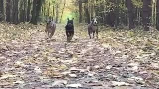 Rottweiler Wolf Ast II