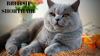 British Shorthair. Archi doesn't feel like getting up in the morning. Cattery Calmcat