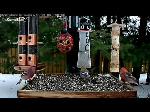 Plumage Variation In Male Pine Grosbeaks - Nov. 28, 2016