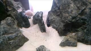 Pielęgnice Zebry z maluchami:)