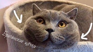 Кошачьи британские щёчки или кусь-кусь / British cat Harry